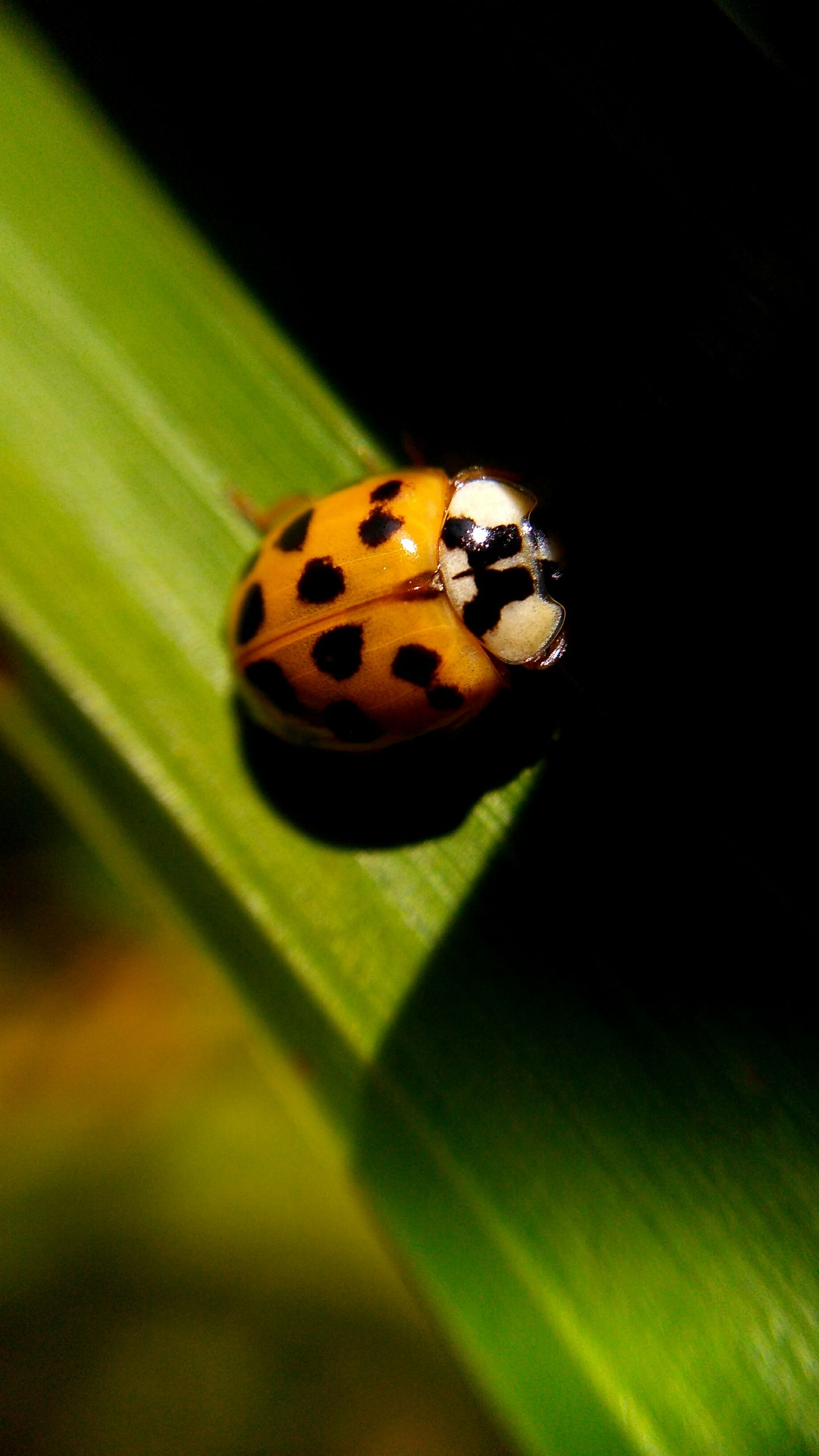 insect, animal themes, ladybug, animals in the wild, spotted, one animal, close-up, no people, nature, fragility, tiny, day, outdoors