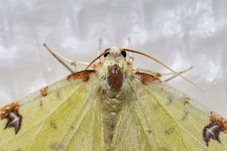 Geometridae Lepidoptera Zitronenspanner Animal Wildlife Butterfly Close-up Falter Gelbspanner Nature Opisthograptis Luteolata Schmetterling