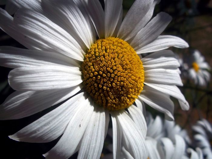 EyeEm Selects daisy Flower Petal Pollen Nature Flower Head Fragility Growth Freshness Beauty In Nature Blooming Yellow No People Outdoors Day Close-up Plant Flower Close Up Plant Shadow Greenhouse Architecture Nature Beauty In Nature