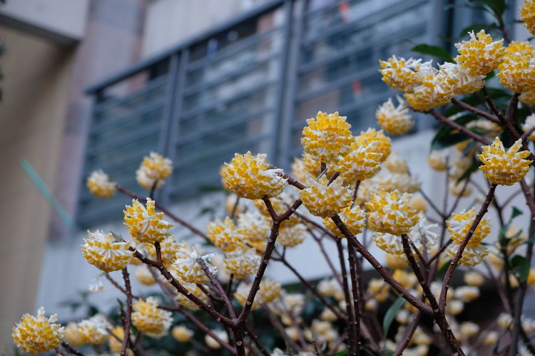 Oriental Paperbush Flower Architecture Beauty In Nature Blooming Branch Building Exterior Close-up Day Flower Flower Head Focus On Foreground Fragility Freshness Growth Lantana Camara Low Angle View Nature No People Outdoors Petal Plant Springtime Tree Yellow