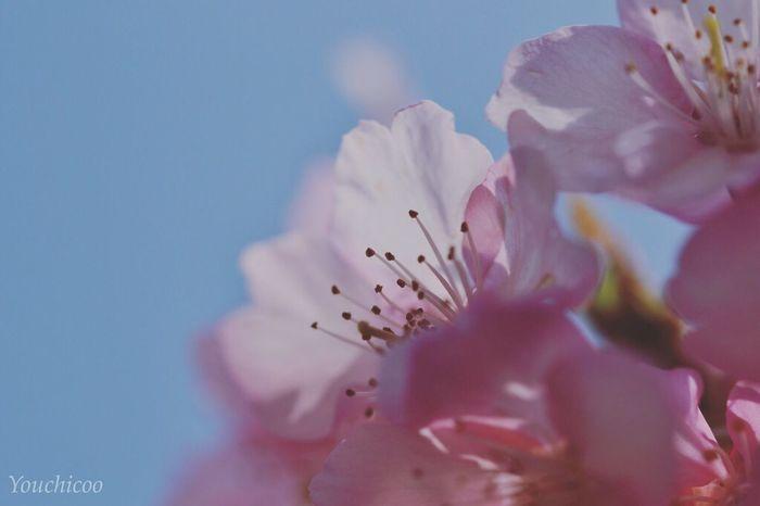 サクラサク2016 EyeEm Nature Lover EyeEm Best Shots Flowerporn Sakura_collection Macro_collection Sakura Sakura2016