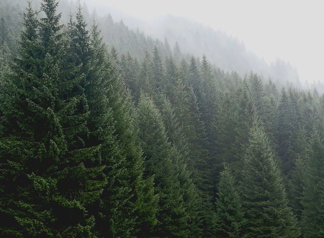 Tatrymountains Tree Pine Tree Forest Pinaceae Nature No People Day Beauty In Nature Outdoors Landscape Sky