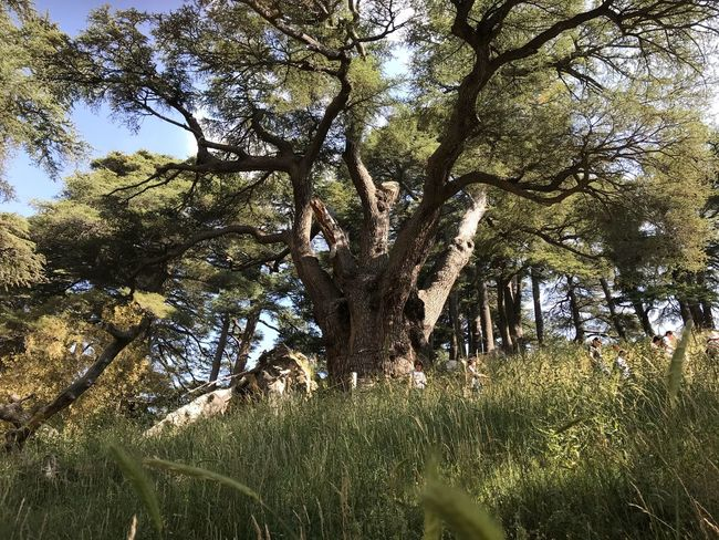 Cedar Cedars Of Lebanon  백향목 Photopackers Oksk Plant Tree Growth Beauty In Nature No People Low Angle View Nature