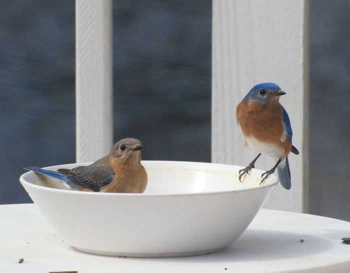 Animals In The Wild Bird Charleston SC Close Up Container Curiosity Day Feeding Time Focus On Foreground Hanging Out Home Indulgence Mealworm No People One Female Bluebird One Male Bluebird Perching Simplicity Sitting Two Birds Two Bluebirds United States Wildlife