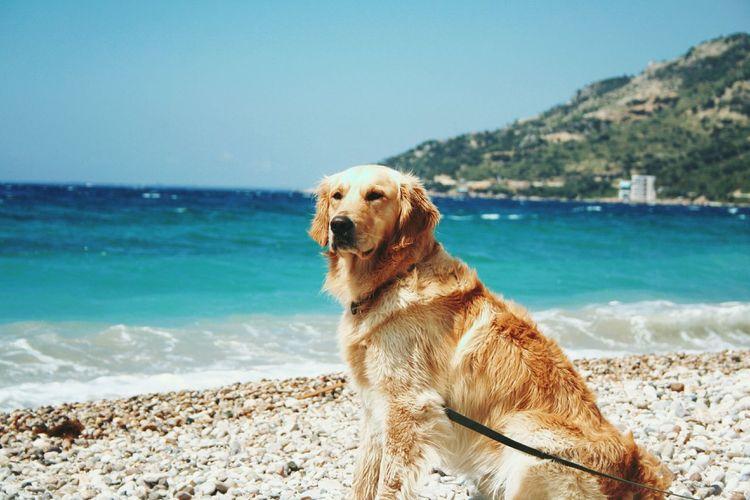 Golden retriever sitting by sea against clear sky