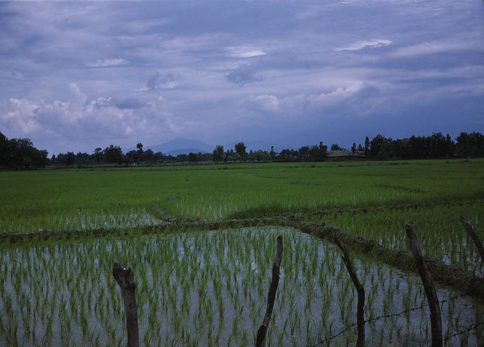 Rice Fields near Caspian Sea Shore 1972 Caspian Sea Cloudy Sky Composition Agriculture Beauty In Nature Crop  Field Growth Iran Land Landscape No People Outdoor Photography Rice Crops Rice Fields And Mountains Rice Paddy Rice Plants Rural Environment Rural Scene Scenics - Nature Tourism Tranquil Scene Tranquility Travel Destination