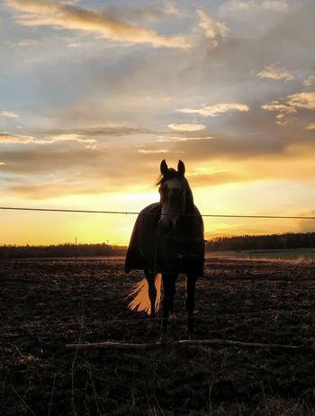 Glowing tail. Orange Sky Orange Horse Photography  Horse Portrait Horselovers Sunset Rural Scene Portrait Horse Sky Cloud - Sky