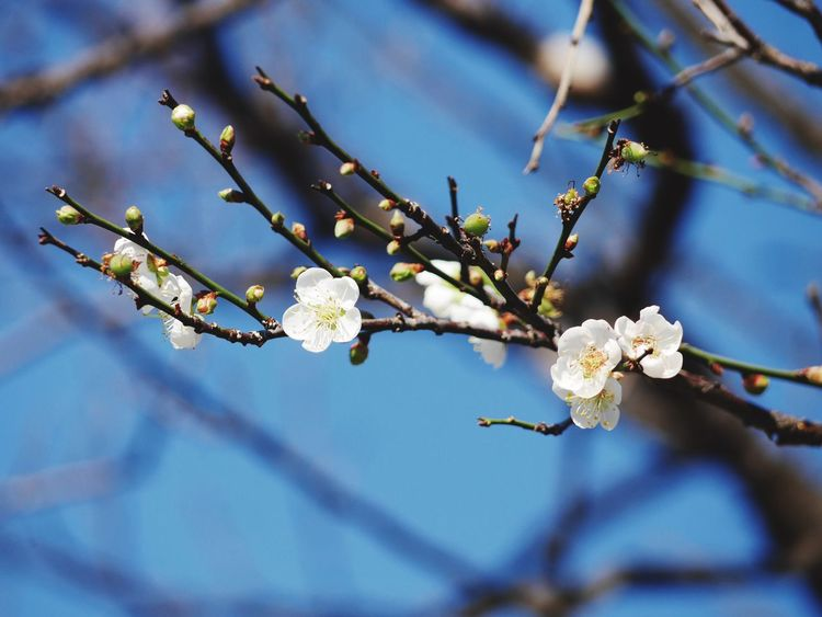 EyeEm Selects Flower Fragility Tree Branch Nature Beauty In Nature White Color Blossom Plum Blossom Flower Head Day Springtime
