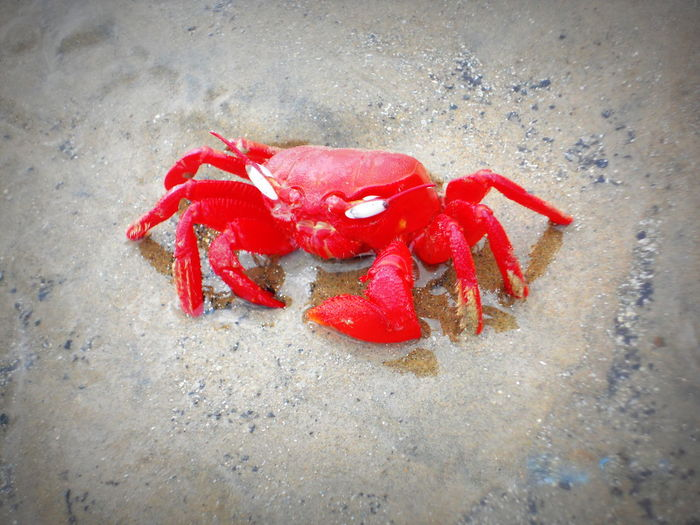 Seaside Red Crab Digha India