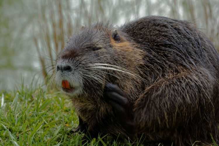 Meeting with a nutria this afternoon in the gardens of the castle of Versailles 🇫🇷 Animals In The Wild Eating Grass Myocastor Coypus Nature Nature Photography Versailles Gardens Animal Head  Animal Themes Animal Wildlife Coypu Nutria