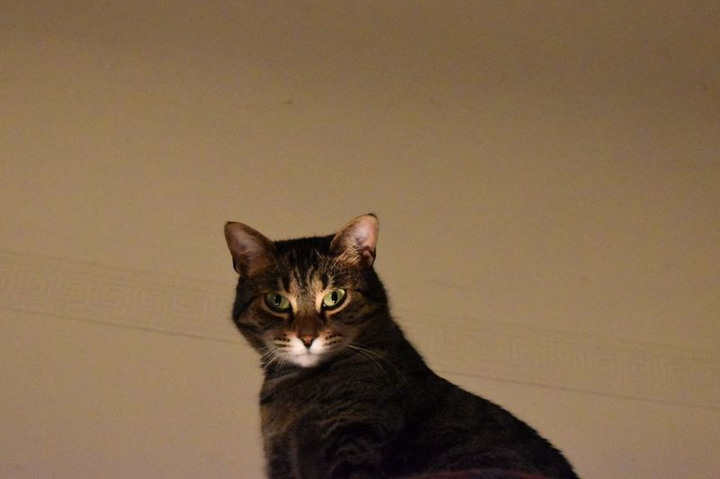 Portrait of cat against wall at home