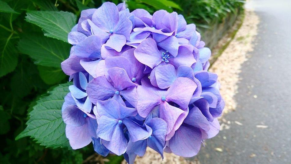 道端に咲く紫陽花②❀✿町田 鶴川 紫陽花2015Photo 紫陽花 紫陽花Photo Flowers Beautiful Purple Today's Hot Look Nature Photography