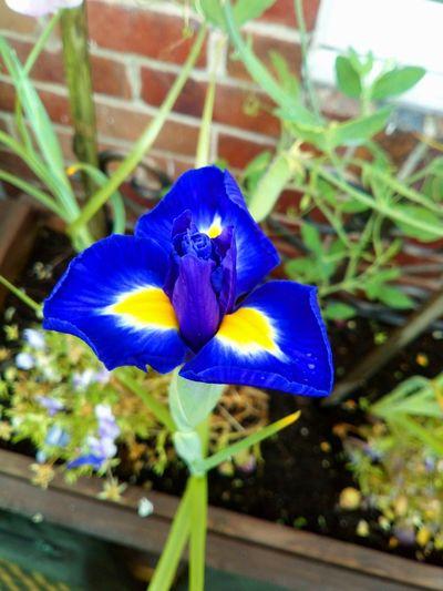 Iris - Plant