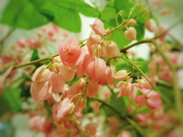 Beauty In Nature Pink Flower 🌸 puangchompu Thai's Flower Fresh Fragility Enjoying The View From My Point Of View
