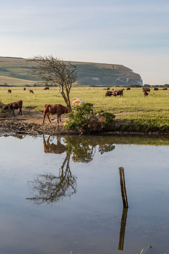 Cattle grazing on field by lake against sky