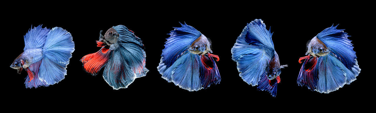 Close-up of multi colored fish against black background