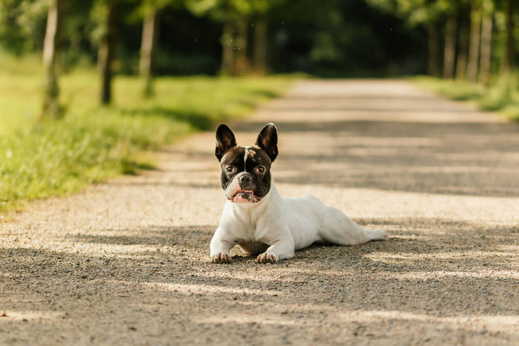 French Bulldog Puppy Pet Photography  Animal Themes Black And White Dog Dog Dog Photography Dog Portrait Domestic Animals Focus On Foreground French Bulldog Looking At Camera No People One Animal Outdoors Pet Portrait Pets Portrait Puppy