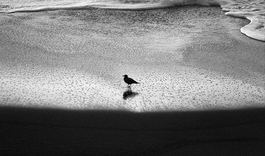 Bird Animals In The Wild Day Animal Themes Beach Nature Sand Animal Wildlife Outdoors Water Beach Walk Blackandwhite Photography
