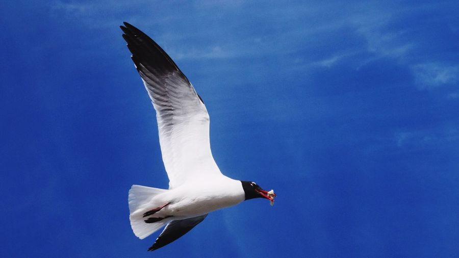 Low Angle View Of Black-Headed Gull Flying In Blue Sky