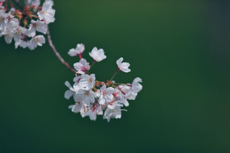 Close-up of cherry blossoms against white background