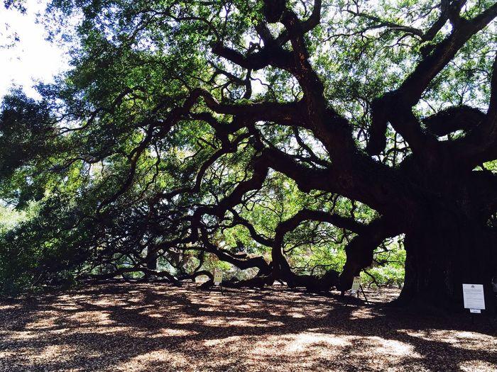 Urban 4 Filter Urban4filter Urban4 Johnsisland Southcarolina Angeloaktree Trees TreePorn Tree_collection  Treescollection