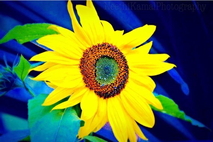 Sunflower that smiles like a glowing sun!!! Flowers Flowers,Plants & Garden Flowerporn EyeEm Nature Lover