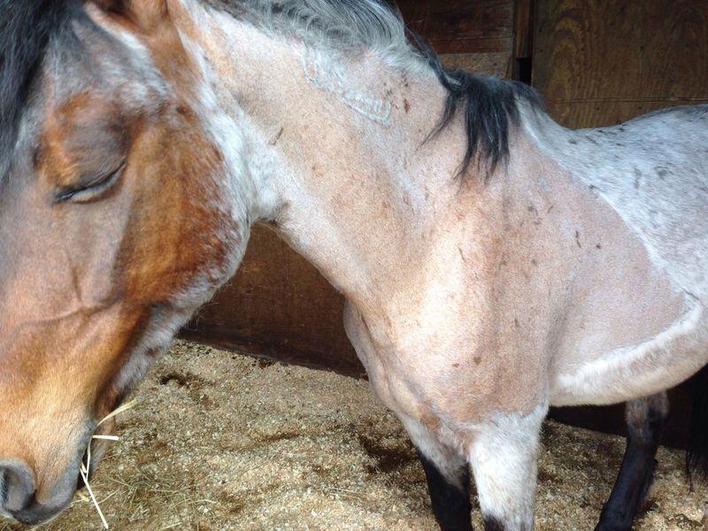 Awww Sleepy Horse Coco Half Shaved...