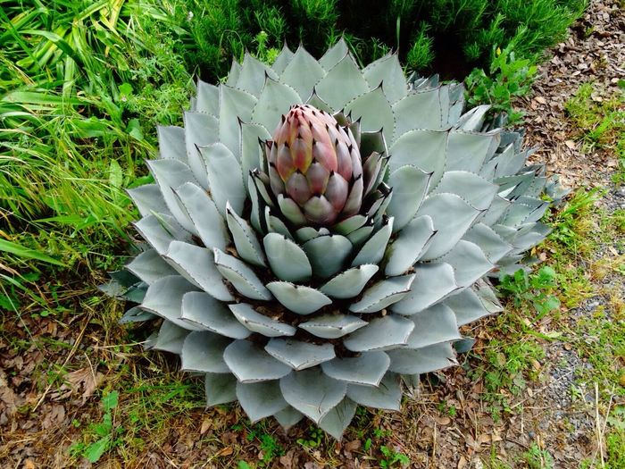 Agave Americana Cactus Flower Bloom Plant Sharp Day