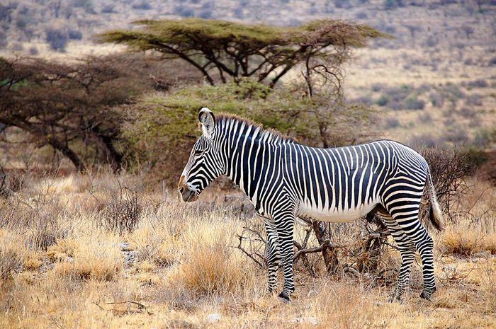 The Grevys Zebra or Imperial Zebra Zebra Animals In The Wild Safari Animals Landscape Animal Themes One Animal Grevy's Zebra Striped Kenya Wildlife