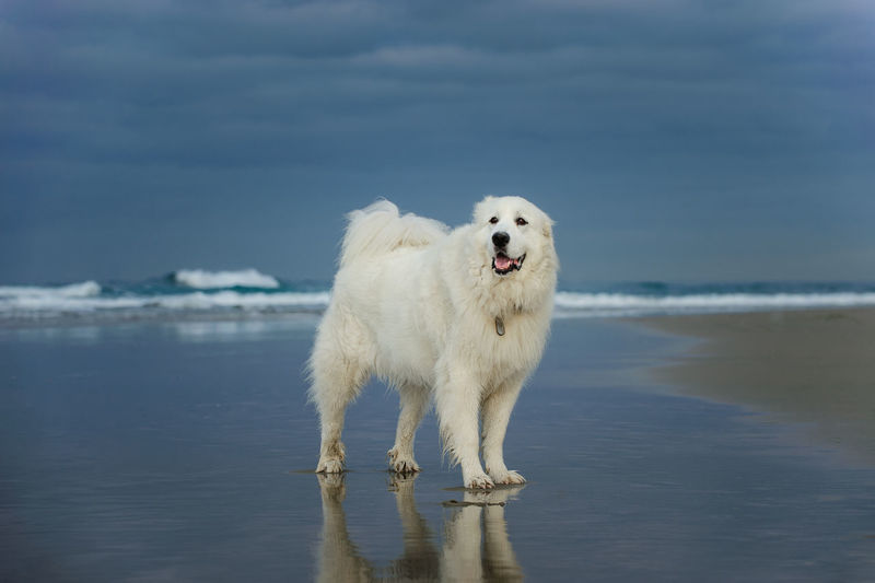 Great Pyrenees dog outdoor portrait Dog Domestic Canine Pets Animal Themes Day No People One Animal Animal Mammal Domestic Animals Nature Great Pyrenees Great Pyrenees Dog Outdoors Photography White Dog Big Dog Purebred Dog Water Sea Beach Standing