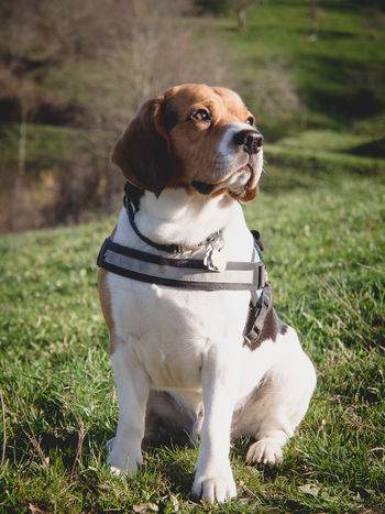 Dog Harness Marierichphotography Olympus Animal Themes Beagle Close-up Day Dog Dog Photography Dog Portrait Domestic Animals Field Focus On Foreground Grass Lovely Mammal Nature No People One Animal Outdoors Pets Sitting Sun