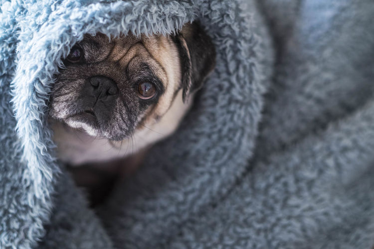 High Angle Portrait Of Dog Wrapped In Blanket