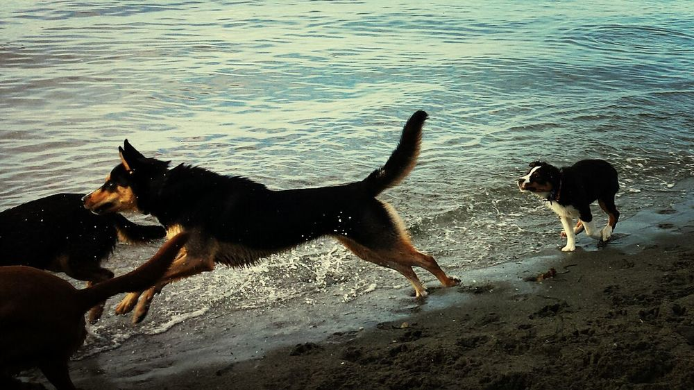 Puppy playing with the big Dogs at Pugetsound