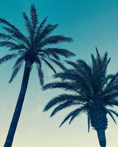 Palm Tree Tree Clear Sky Outdoors No People Sky Low Angle View Nature Beauty In Nature Sunset The Great Outdoors - 2017 EyeEm Awards Sommergefühle