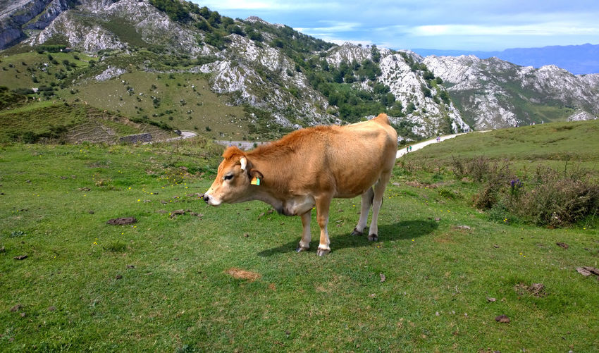 Cow standing on grassy field by mountains