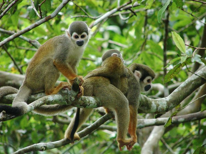 Baby On Board Animal Wildlife Squirrel Monkeys Ecuador Amazonas Animals In The Wild Monkey Monkey Family Brench Time Lol Jungle Life