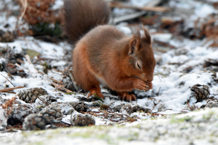 Eurasian red squirrel on snow covered field during winter