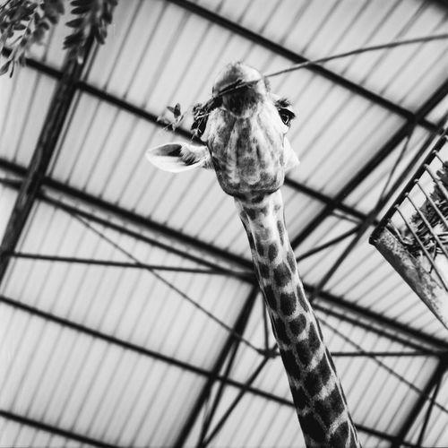 giraffe One