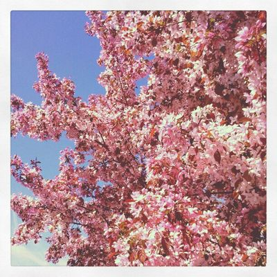 Getting my Body & Soul adjusted. 2012.4.4 Spring Treeblossoms Pink Beautiful Instagram Instamood