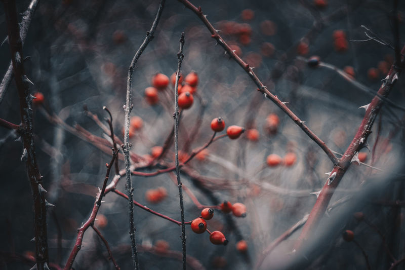 Helios Helios44 Hungary🇭🇺 My Homeland Rose Hip Beauty In Nature Blurry Background Branch Close-up Clouse-up Crops Day Focus On Foreground Food And Drink Foreground Focus Freshness Fruit Growth Helios 44M Nature No People Outdoors Red Rose Hip Winter