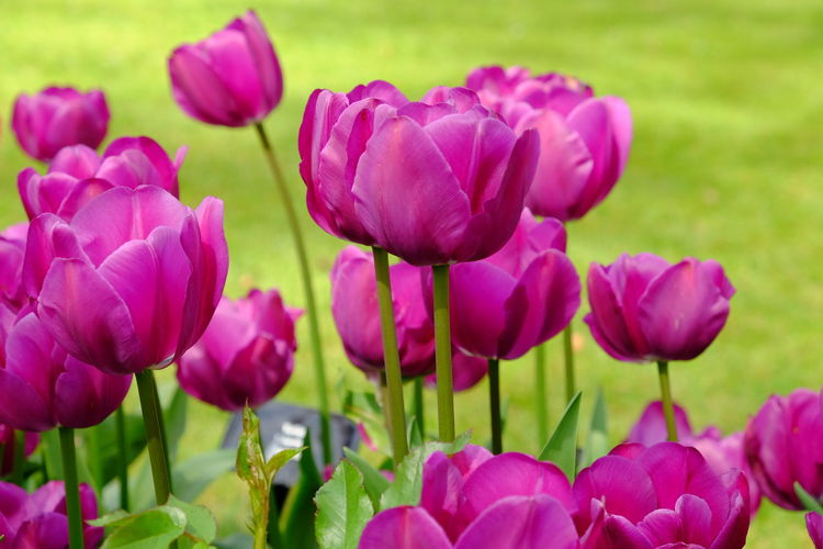 Outdoors No People Nature Inflorescence Growth Flower Head Close-up Freshness Plant Petal Beauty In Nature Fragility Vulnerability  Flower Flowering Plant Tulip Tulips Spring Springtime Purple