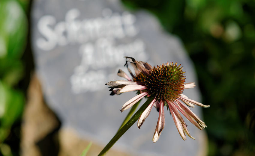 High angle view of dead coneflower against tombstone at graveyard