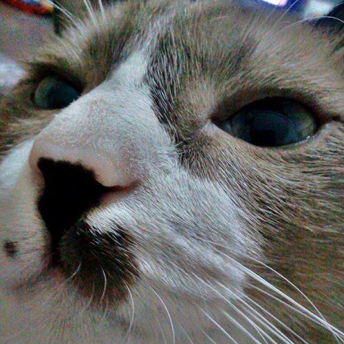 Morning.. Zoom in.. จมูกแดงๆจะไว้จัยได้กา Ichigo Pinknose Lovemycat Coldday Lazyday Cat♡ Cute♡ Cute Cats Cat Lovers Catsofinstagram Catsagram Cats Of EyeEm Cat Photography Catstagram