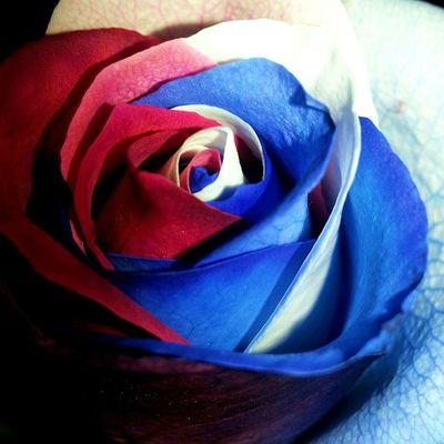 Flowers Rose🌹 Roses