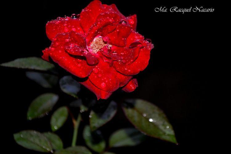 Close-up of red rose over black background