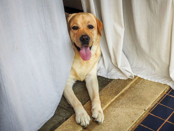 Zeca The Lab Bestfriend Dog Domestic Animals Lab Labrador Labrador Retriever LabradorRetriever Pet Pet Photography  Yellow Lab Yellow Labrador