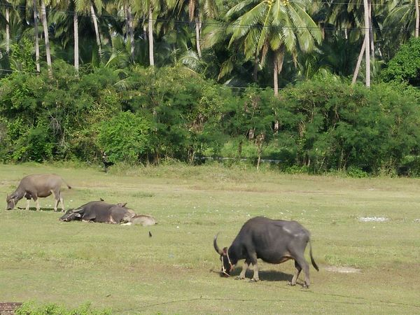 South Outdoors Day Dry Plant Plam Travel Country Thailand Farm Nature No People Buffalo Thailand Background Travel Plant Beauty In Nature