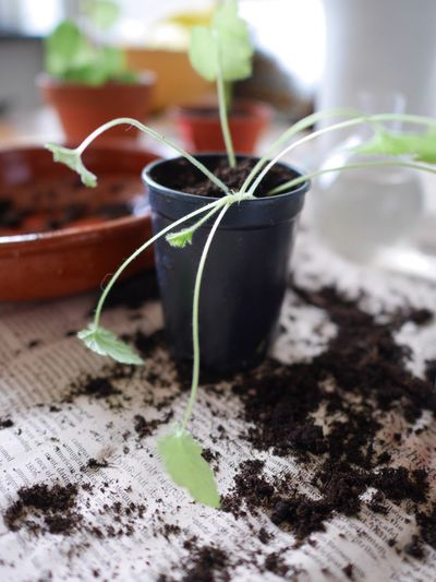 Plant Focus On Foreground Leaf Young Plant No People Close-up Growth Day Nature Outdoors Fragility Soil Freshness Greenhouse Freshness Replanting Plants And Flowers Full Frame Green Color Growth Fragile Leaf Vein Indoors  Table Plant