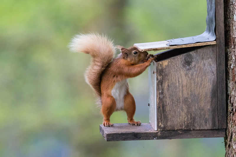 Red Squirrel stealing peanuts Red Squirrel Sciurus Vulgaris THE THIEF Animal Themes Animal Wildlife Animals In The Wild Day Foraging For Food Mammal Nature No People One Animal Outdoors Squirrel