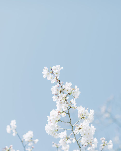 Beauty In Nature Blossom Branch Clear Sky Close-up Day Flower Flower Head Fragility Freshness Growth Lilac Low Angle View Nature No People Outdoors Plum Blossom Sky Springtime Tree Twig White Color